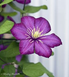 https://flic.kr/p/v4E8oh | Just Pretty | Another Clematis