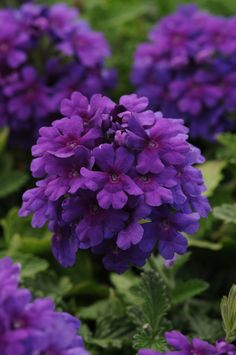 Endurascape™ Purple Verbena beats all verbenas for summer performance – it takes the heat better, and stays in flower longer! Lasting color and excellent powdery mildew resistance. And, super pretty, too. Full sun. Zone: 7 – 10