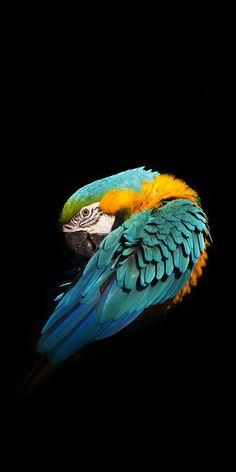 Minimal Blue And Yellow Macaw IPhone Wallpaper - IPhone Wallpapers