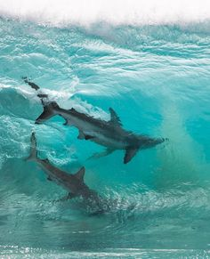 Australian photographer Sean Scott captured remarkable shot of two sharks within a crystal clear wave. In addition to his amazing shark photography, the photographer has an incredible portfolio of gorgeous waves and wildlife. No Wave, Big Shark, Shark Swimming, Shark In The Ocean, Shark Fish, Shark Art, Orcas, Australia Occidental, Shark Pictures