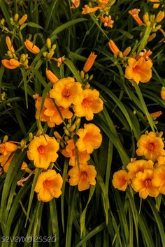 day lilies Flower photography from Photography Talk. http://www.photographytalk.com/