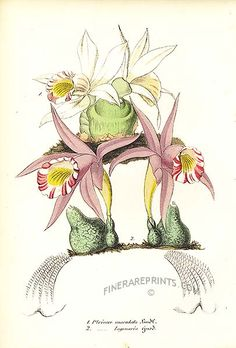 Antique print: picture of Orchids. The Spotted Pleione (Pleione Maculata) and Tanned Beauty (Pleione lagenaria) -