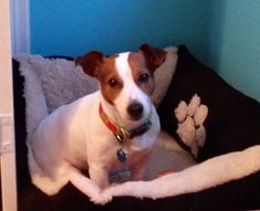 Jack Russell--max