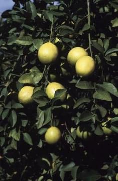 How to Pollinate an Indoor Lemon Tree Lemons (Citrus limon) typically grow outdoors in U. Department of Agriculture plant hardiness zones 9 through Growing these trees indoors allows you to grow them in areas beyond their natural . Citrus Trees, Fruit Trees, Kumquat Tree, University Of Florida, Eureka Lemon Tree, Indoor Lemon Tree, Home Remedies, Natural Remedies, Lemon Plant