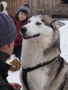 ... mit den mindestens ebenso neugierigen und gespannten Huskies geprägt. Husky, The Locals, Den, Spaces, Animals, Love Story, Tourism, Snow, Viajes