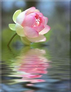 Lotus Buds | Posted by administración on Aug 05, 2011