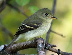 Yellow-bellied Flycatcher (Empidonax flaviventris) is a small insect-eating bird of the tyrant flycatcher family. Their breeding habitat is wet northern woods, especially spruce bogs, across Canada and the northeastern United States. They make a cup nest in sphagnum moss on or near the ground. These birds migrate to southern Mexico and Central America.