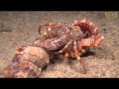 Watch This Cool Footage of a Hermit Crab Changing Shells and Taking His Buddies Along With Him   I Can Has Cheezburger?   Bloglovin'