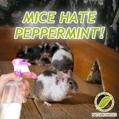 How To Naturally Get Rid of Mice With Peppermint