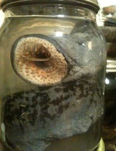 DEATH WORM Terrifying Lamprey Eel in a Jar  by BlackBearBathSalts, 30.00 So these are monsters. Basically a tentacle with a billion teeth, these horrible death worms will Sarlaac you into into a million screaming pieces. Be thankful that this one is very dead, and very in a jar, fixed in formalin and held in alcohol for eternity.
