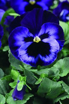 Pansy-beautiful blue!