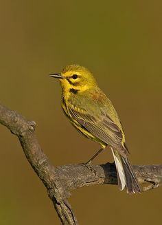 The Prairie Warbler (Setophaga discolor) is a small songbird. Their breeding habitats are brushy areas and forest edges in eastern North America.