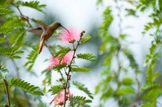 Trees for Home: Don't Plant These | Trees to Avoid. Mimosa (Albizia julibrissin) AKA: silk tree (sometimes confused with Acacia baileyana).  Native to Japan, the deciduous mimosa has lacy leaves and delicate, fluffy pink flowers that bloom in summer. Grows to 40 feet tall; prefers high summer heat; in the fall, it drops lots of flowers, leaves, and seed pods.  Mimosa has to be the most invasive tree; it seeds itself all over lawns, flower beds, and gutters.