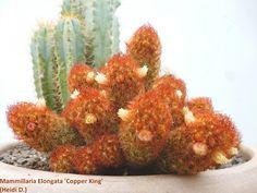 Mammillaria Elongata 'Copper King'