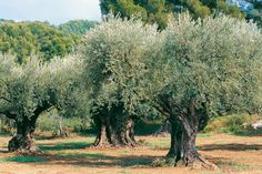 Olive, Bach Flower Remedy