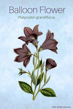 Information on the Side Effects and Benefits of the Medicinal Herb Balloon Flower (Platycodon grandiflorus) and Its Modern, Common and Traditional Uses