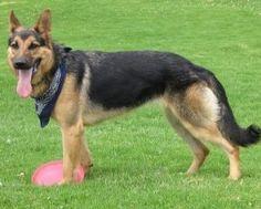 Exercising Your German Shepherd