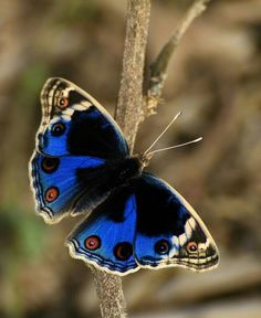 Blue black with cream colored edges butterfly