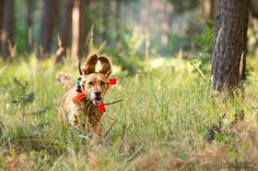 Deutscher Wachtelhund - julia kauer jagdhunde fotografie
