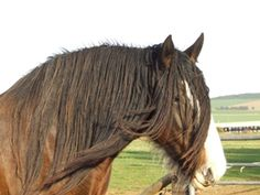 clydesdale04.jpg (300×225)
