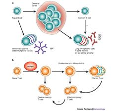This is an image detailing the creation of B-Cell lymphocytes and how plasma cells are involved with the creation of antibodies. Lymphocyte B, Acute Lymphoblastic Leukemia, Med Lab, B Cell, Blood Cells, Biochemistry, Anatomy And Physiology, Microbiology, Snow