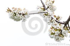 #Cherry #Blossoms @Dreamstime Stock Photography @carinzia #ktr14 #nature #stock #flowerspower #flowers #outdoor #photo #new #download #highres #Austria #carinthia #White #tree #branches #spring