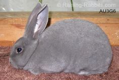 Blue Rex Rabbit-- dual purpose, beautiful fur & meat....... I would love to raise all 3 of these colors!  Be sure to get Pure bread Heritage rabbits...ie: Silver Fox or Standard Rex or BOTH as first rabbits!!!  Great Choices for meat, fur, feed conversion, medium size.