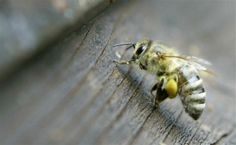 Australian scientists microchip bees to map movements, halt diseases