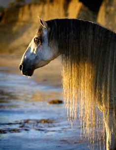 Pinning it again from a long time ago to try out as board cover. Too lazy to scroll. All The Pretty Horses, Beautiful Horses, Animals Beautiful, Horses And Dogs, Wild Horses, Grey Horses, Andalusian Horse, Friesian Horse, Wild Creatures