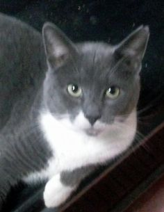 Meet Thor, an adoptable Domestic Short Hair - gray and white looking for a forever home. If you're looking for a new pet to adopt or want information on how to get involved with adoptable pets, Petfinder.com is a great resource.