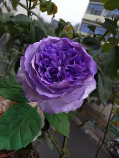 Pretty Roses, Pretty Birds, Beautiful Flowers, Purple Flowers, Paper Flowers, Landscaping With Roses, Nature Photography, Landscape, Garden
