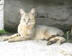 Jungle Cat from India with a median weight of 18 lbs