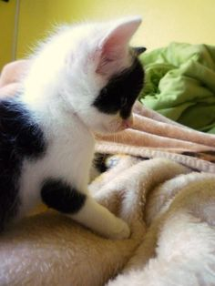 Patches as a kitten