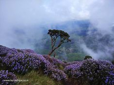 Once every 12 years, the hills of Munnar turn blue. People flock in great numbers to view the blooming of the Neelakurinji Flower. Special Flowers, Wonderful Flowers, Wonderful Places, Munnar, States Of India, Blue Hill, Exotic Pets, Holiday Destinations, Land Scape