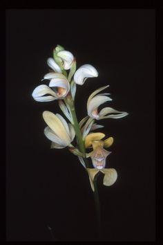Govenia liliacea