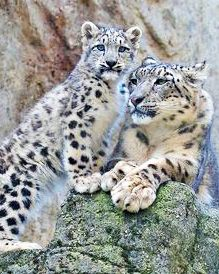 photo of Snow Leopards, adult and kit.  saw on flickr.com   photo by Fisherman01    01/11/2018