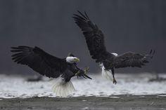 Tlcharger Fond d'ecran aigle, se battre, oiseaux Fonds d'ecran gratuits pour…