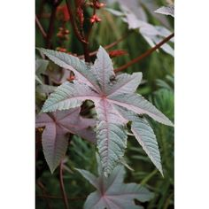 Buy Ricinus communis 'Carmencita' from Sarah Raven: Ricinus communis 'Carmencita' is a very handsome foliage plant, with its spiny scarlet football seed pods, perfect for the bold and brilliant garden. Deadly Plants, Poisonous Plants, Cut Flowers, Wild Flowers, Castor Bean Plant, Foliage Plants, Seed Pods, Back Gardens, Flower Seeds