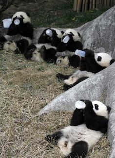 The earthquake was right in the area where giant pandas live. Most pandas in this area were rescued. The photos were taken right after earthquake, all the pandas were released back into the wild an… Cute Baby Animals, Animals And Pets, Funny Animals, Baby Pandas, Wild Animals, Giant Pandas, Panda Bebe, Cute Panda, Baby Panda Pictures