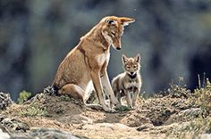 An Ethiopian wolf and pup