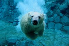 Polar Bear Dive. Mark Snelson.