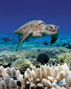 a sea turtle while diving on the Great Barrier Reef. Turtle Love, Green Turtle, Turtle Beach, Great Barrier Reef, Animals Beautiful, Cute Animals, Beautiful Ocean, Wild Animals, Deep Blue Sea