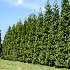 Evergreens That Stop Growing at a Perfect 8-12 ft. Height - These easy-to-grow hedge trees are perfect for tight areas. Its shimmering emerald color and disease resistance make it an extremely popular evergreen hedge.   Your best choice for a medium-sized privacy screen... just plant every 3 ft. for a tidy, neat hedge that never needs trimming.  Ideal for...