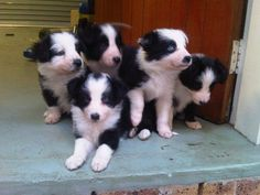 Border Collie puppies!!