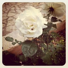 rose of peace!