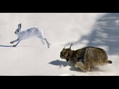 Epic Hunting Chase of the Canadian Lynx and Snowshoe Hare in HD - YouTube