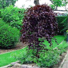 Buk Purpurea pendula2 Horticulture, Patio Design, Garden Design, Front Flower Beds, Betula Pendula, Beech Tree, Flower Lights, Landscaping Plants, Landscaping Ideas