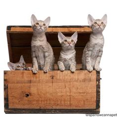 Ocicat kittens, 13 weeks old, emerging from a wooden box in front of white background by Lifeonwhite. Ocicat kittens, 13 weeks old, emerging from a wooden box in front of white background Ocicat, Funny Animal Photos, Funny Animals, Animals Photos, American Shorthair, Abyssinian, Free Graphics, Cat Breeds, Wooden Boxes