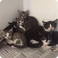 F Litter - URGENT - LEE COUNTY ANIMAL SHELTER in Bishopville, South Carolina - ADOPT OR FOSTER - Domestic Shorthair KITTENS of all kind. The shelter has an infux of kittens, both males & females, and needs some help getting them all adopted.