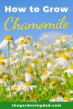 Learn How to Grow Chamomile with these Easy Quick Tips. Find 10 SIMPLE Tips for beginners to grow bigger and better chamomile! Learn How to Grow Chamomile with these Easy Quick Tips. Find 10 SIMPLE Tips for beginners to grow bigger and better chamomile! Herb Garden Design, Garden Tips, Chamomile Growing, Herbs For Health, Types Of Soil, Plant Needs, Edible Flowers, Garden Supplies, Garden Planning